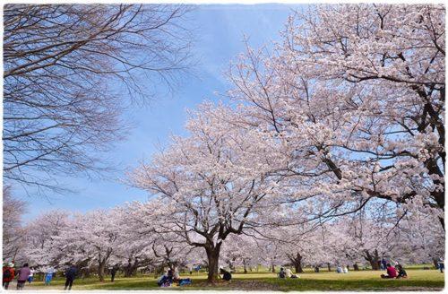 昭和記念公園の桜|屋台の出店情報とおすすめの飲食店まとめ!2020